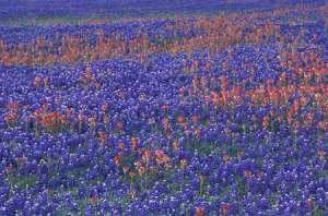 Bluebonnets indian paintbrush1
