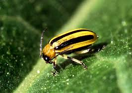 striped cuc beetle