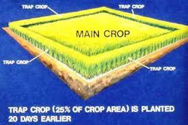 Trap Crop illustration