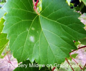 9-4PM-on-grape-leaves-1ANNEMIEK (1)