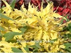 amaranth-tricolor-aurora