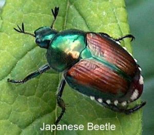 beetle - Japanese Beetle (Popillia japonica) [MO 06]