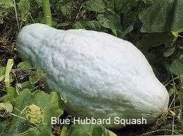blue hubbard