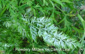 carrot-powdery-mildew-1L