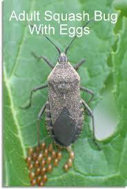 Squash bug adult