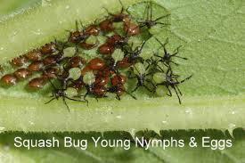 squash bug eggs nymph