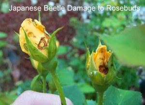 beetlerose