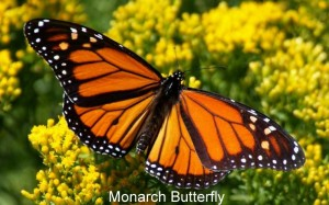 monarch-butterfly-wallpaper---1920x1200