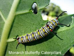 Monarch larvae