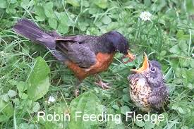 Robin fledge-001