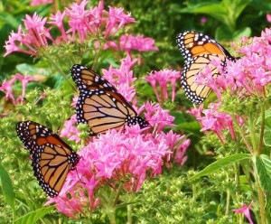 Three-Amazing-Monarchs-on-Milkweed (1)