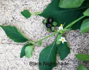 blacknightshade_orig