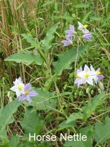 Horse-nettle-plant1