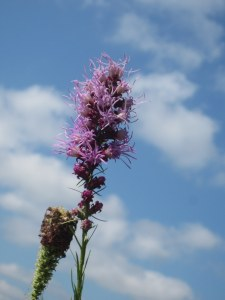 Liatris (Blazing Star)