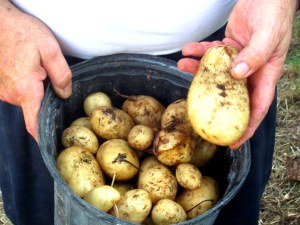 Kennebec potatoes (Solanum tuberosum)