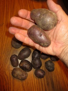 All Blue potatoes (Solanum tuberosum)
