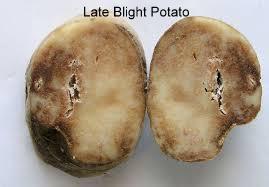 Potato LB