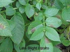 Potato LB1