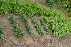 succession planting3