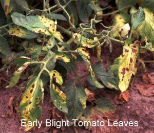 tomato Early-blight