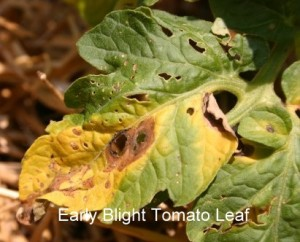 tomato-early-blight1