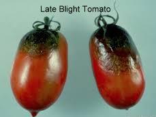Tomato LB