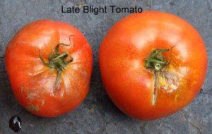Tomato LB1