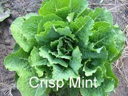 Crisp Mint1