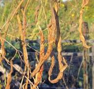 Dried beans on vine