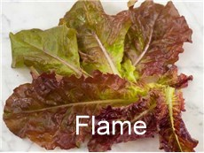 Lettuce-Flame-LT113-web