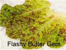 Lettuce-Flashy-Butter-Gem-LT160-web