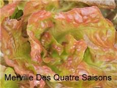 merveille-des-quatre-saisons-lettuce2