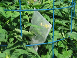 seed saving cages tom flowers 1tomBag1
