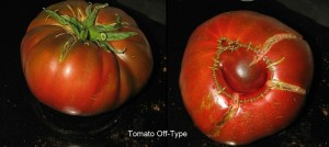 tomato off type1
