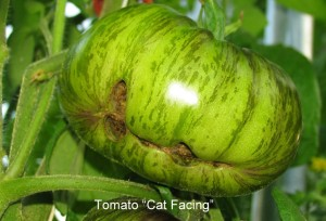 tomato off type