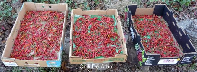 Chile Arbol2