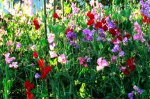 wall-of-sweet-peas