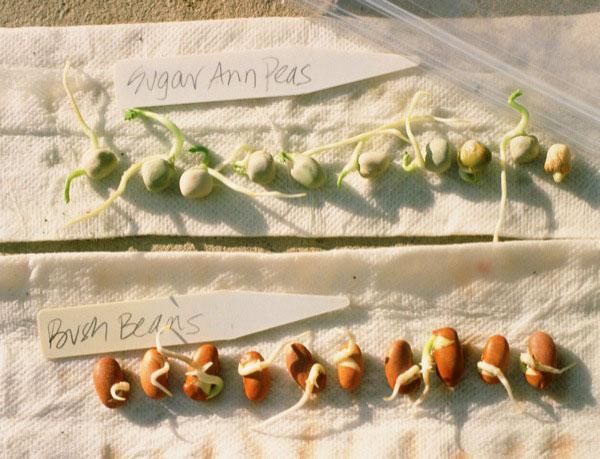 germination600
